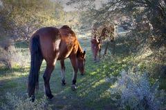 Chevaux sauvages pendant le début de la matinée Photo stock