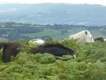 Chevaux sauvages sur Hergest Ridge, Kington, Herefordshire image stock