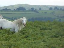 Chevaux sauvages sur Hergest Ridge, Kington, Herefordshire photos libres de droits