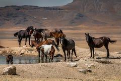 Chevaux sauvages sur le plateau de désert Photos stock