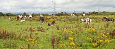 Chevaux sauvages sur un pré Photographie stock libre de droits