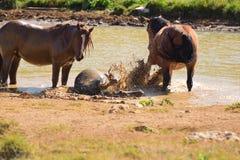 Chevaux sauvages, un étang, jour chaud Photo libre de droits