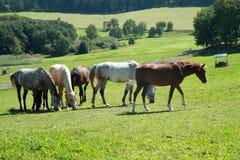 Chevaux sur l'herbe Photo libre de droits