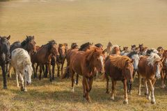 Chevaux sur la prairie de l'Inner Mongolia, Chine photo stock