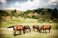 Chevaux sur le cordon rural vert photographie stock