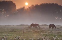 Chevaux sur le pâturage brumeux au lever de soleil Photo libre de droits