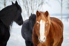 Chevaux sur le pâturage en hiver images libres de droits