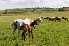 Chevaux sur un champ/jument verte et son poulain Image libre de droits