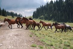 Chevaux traversant le chemin forestier images libres de droits