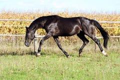 Chevaux ukrainiens de race de cheval photos libres de droits