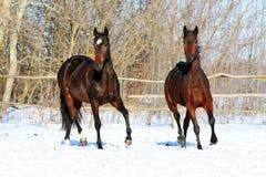 Chevaux ukrainiens de race de cheval Image libre de droits