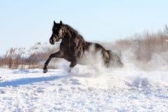 Chevaux ukrainiens de race de cheval Photographie stock