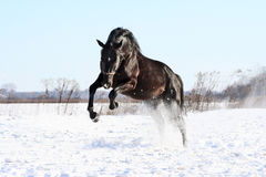 Chevaux ukrainiens de race de cheval Photos stock