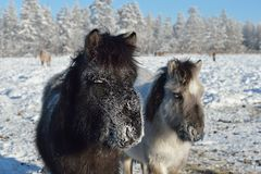Chevaux yakoutes dans Oymyakon images stock