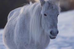 Chevaux yakoutes pendant l'hiver dans la neige La race des chevaux yakoutes Photographie stock libre de droits