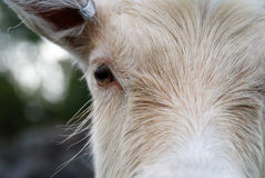 Cheveu de chèvre Images libres de droits