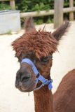Cheveux animaux boiteux d'animal d'animaux d'animaux de lama oui étroits images stock