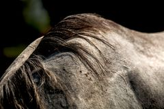 Cheveux de cheval Image libre de droits