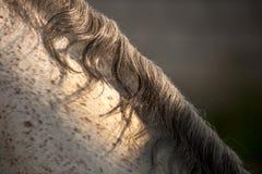 Cheveux de cheval Images libres de droits