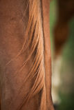 Cheveux de cheval Photo libre de droits