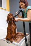 Cheveux de séchage de Groomer de chien avec le sèche-cheveux Photo libre de droits