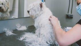 Cheveux de soin la montagne Terrier blanc occidentale Orientation peu profonde Photo libre de droits