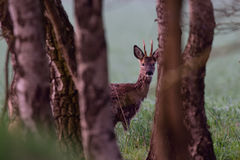 Chevreuil mâle au ressort Image stock