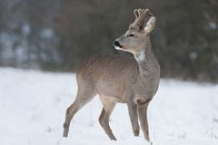 Chevreuil mâle pendant l'hiver Photos stock