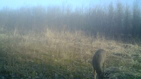 Chevreuil, Roe deer or Capreolus capreolus, in a wood in a winter day in HD