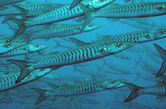 Chevron barracuda. Royalty Free Stock Photo