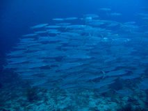Chevron Barracuda - Sphyraena qenie Royalty Free Stock Photo