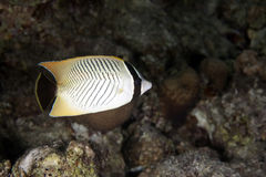Chevron butterflyfish Royalty Free Stock Images