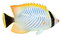 Chevron Butterflyfish. Isolated in white background. Chaetodon trifascialis stock photography