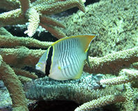 Chevron Butterflyfish. A Chevron Butterflyfish swims among staghorn & plate coral in a Pacific Ocean lagoon near the Equator Stock Image