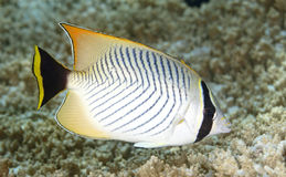 Chevroned Butterflyfish, Chaetodon trifascialis. Royalty Free Stock Photography