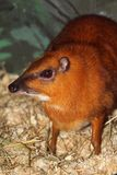 Chevrotain Immagini Stock