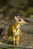 Chevrotain or Mouse deer. (Tragulus javanicus) is staring at us in wild nature of Thailand Stock Images