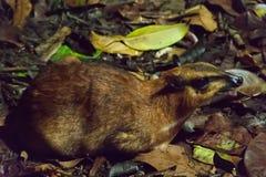 Chevrotains, también conocido como ratón-ciervos, es pequeños ungulates eso imagenes de archivo
