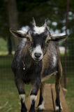 Chevy the Goat Stock Images