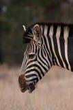 chew zebra fotografia royalty free