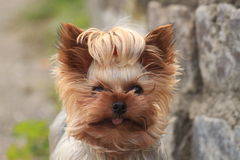 Chewbacca. Tiny Dog Photo - Yorkshire Terrier Stock Photo