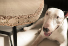 Chewed wooden table and Bull terrier dog Stock Photography