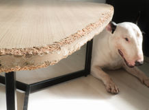 Chewed wooden table and Bull terrier dog Royalty Free Stock Photography