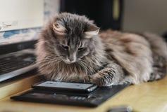 Chewie die Katze, die am Smartphoneschirm aufpasst Stockfotos