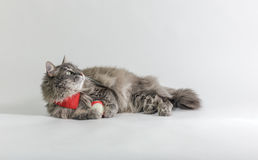 Chewie th cat with a ball Royalty Free Stock Photos