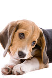 Chewing the bone. Adorable young beagle pup chewing on a bone Royalty Free Stock Image