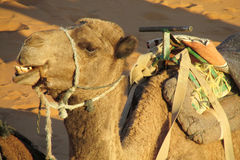 Chewing camel Royalty Free Stock Photography