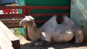 A chewing camel lying in a pen.