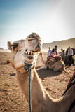 Chewing camel in the moroccan desert. With people in the background Stock Photo