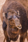 Chewing camel Royalty Free Stock Photo
